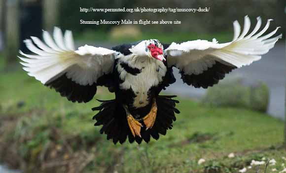 Muscovy from Permuted.org